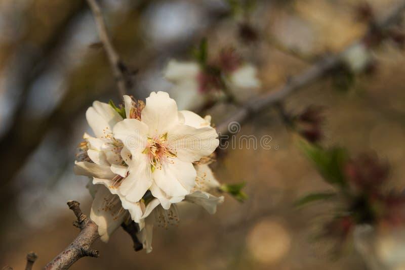 Beautiful white flowers of almond royalty free stock photo
