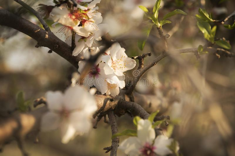 Beautiful white flowers of almond stock photo