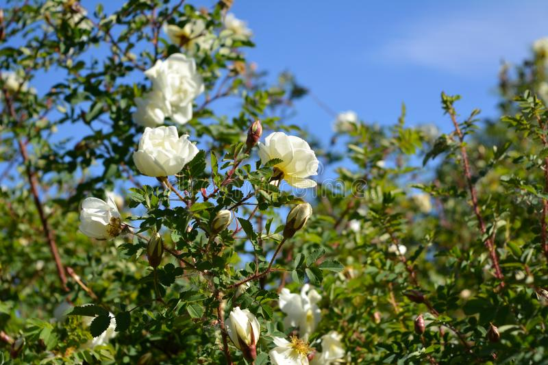 Beautiful white flowers of blooming rose bush on the background of blue sky stock photos