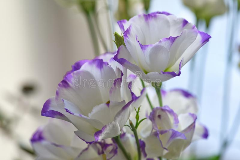 Beautiful white flowers with a delicate purple border stock photo download beautiful white flowers with a delicate purple border stock photo image of garden mightylinksfo