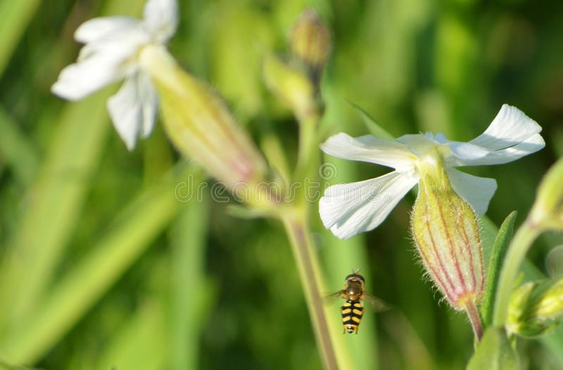 Beautiful white flowers with flying insect. Beautiful white flowers with yellow flying insect. Wild flowers. Interesting view royalty free stock images