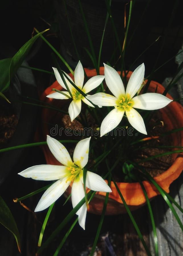 Beautiful of white flowers. Beautiful white flowers in the garden stock photo