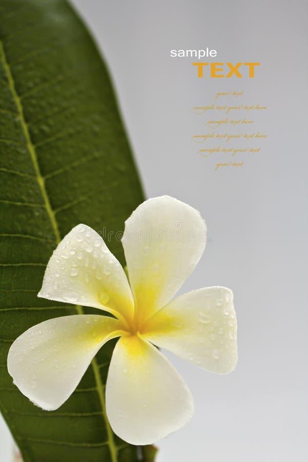 Beautiful white flowers with leaf (Leelawadee) royalty free stock photos