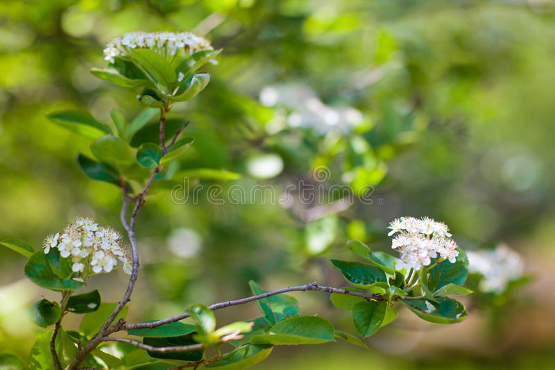 White flowers in spring royalty free stock photo
