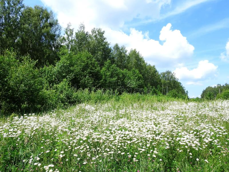 Beautiful white flowers, trees and cloudy sky, Lithuania stock photography