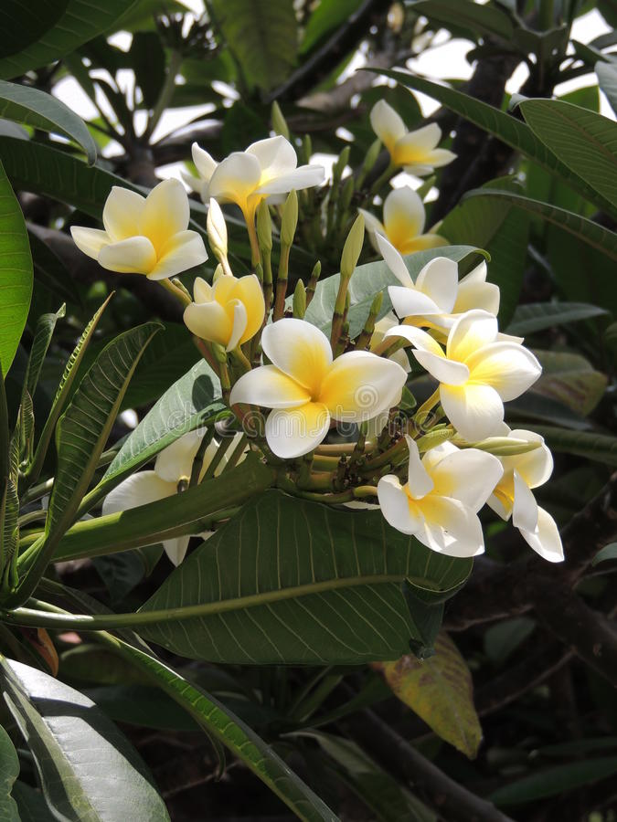 Beautiful white flowers of a tropical plant stock image image of download beautiful white flowers of a tropical plant stock image image of flower plants mightylinksfo