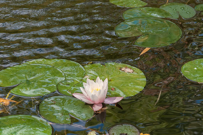 Beautiful white flowers of water lilies royalty free stock photo