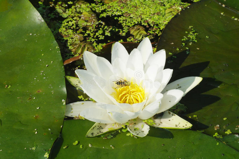 Beautiful white flowers of water lilies.  royalty free stock photo