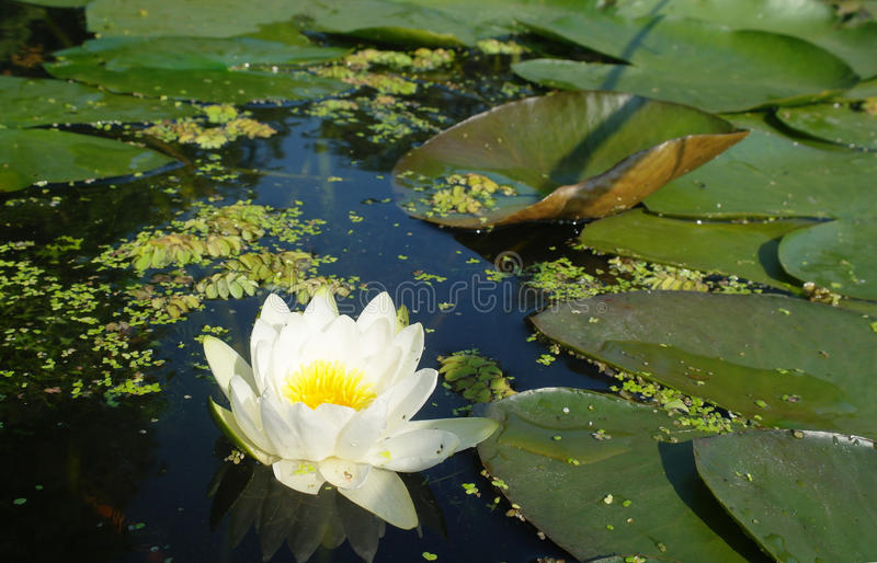 Beautiful white flowers of water lilies.  royalty free stock photos