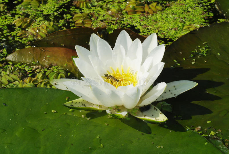 Beautiful white flowers of water lilies.  royalty free stock images