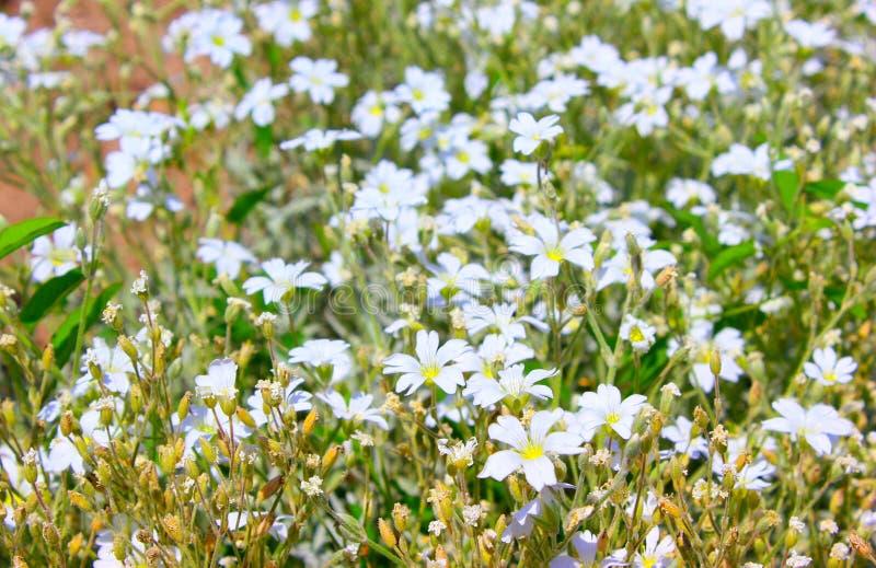 Beautiful White Flowers stock image