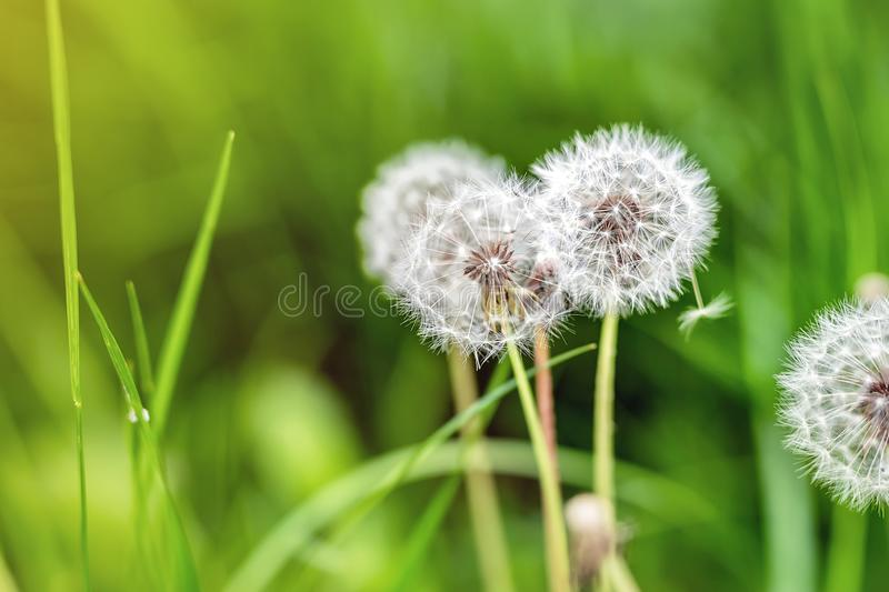 Beautiful white fluffy dandelion flowers among green grass meadow with blurred backgdrop. Summer or autumn nature bright natural. Background, spring, plant royalty free stock photo