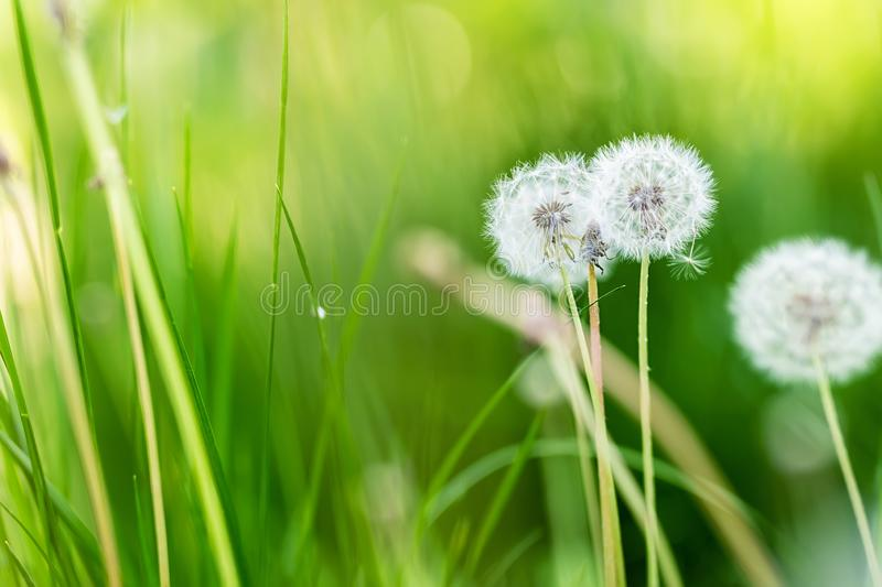 Beautiful white fluffy dandelion flowers among green grass meadow with blurred backgdrop. Summer or autumn nature bright natural. Background, spring, plant stock image