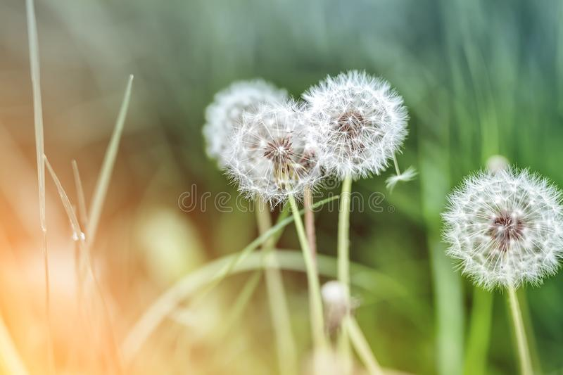 Beautiful white fluffy dandelion flowers among green grass meadow with blurred backgdrop. Summer or autumn nature bright natural. Background, spring, plant royalty free stock images