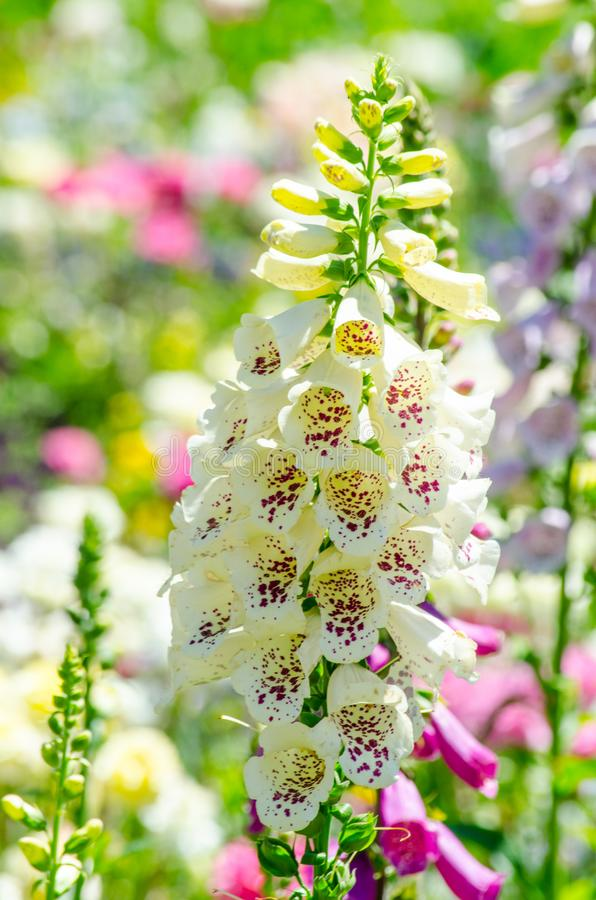 Beautiful white foxgloves flower in a spring season at a botanical garden. stock photos