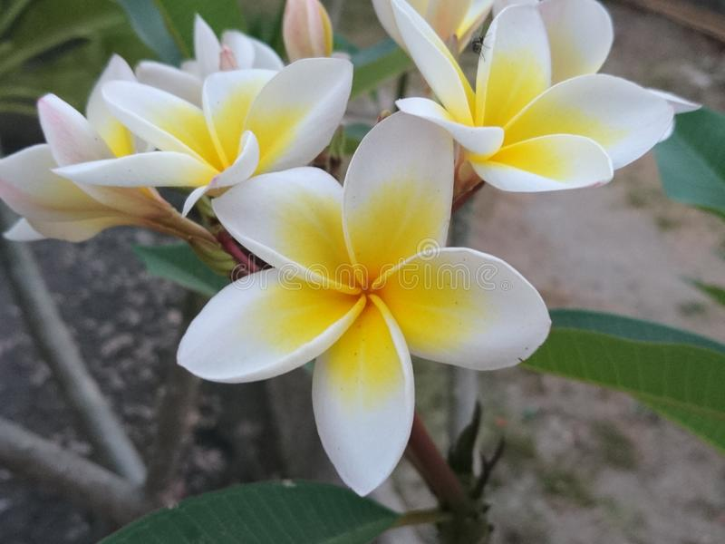 Beautiful white frangipani flowers bloom in the garden royalty free stock photos
