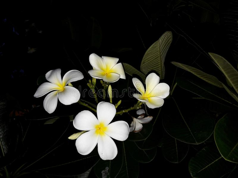 Beautiful white frangipani flowers and green leaves stock photos
