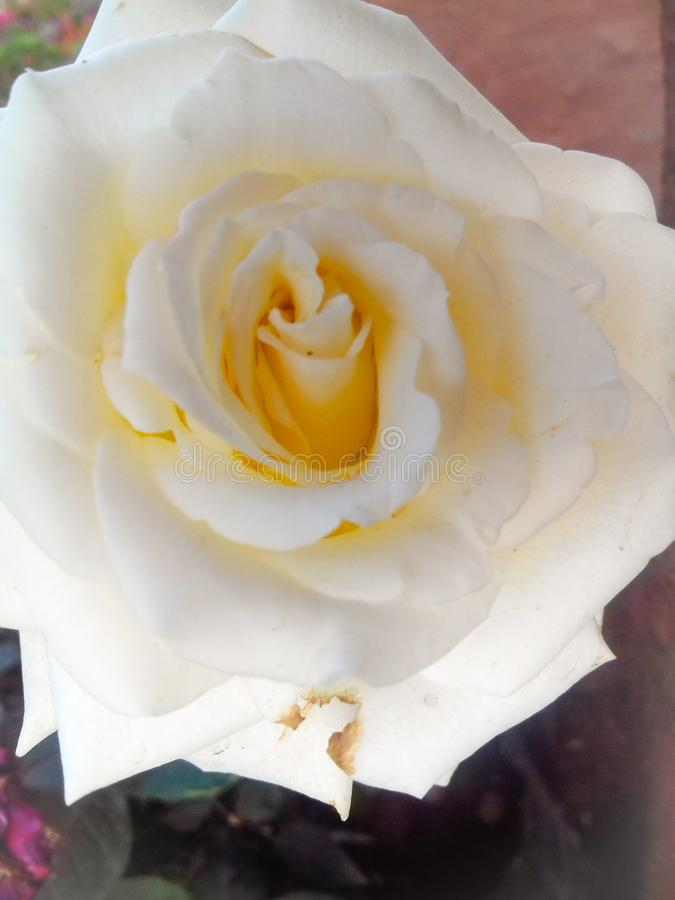 Beautiful white and fresh rose with water drops royalty free stock image