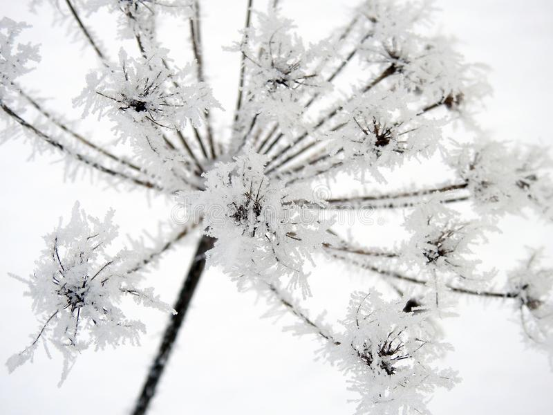 Wild plant with winter frost, Lithuania royalty free stock photo