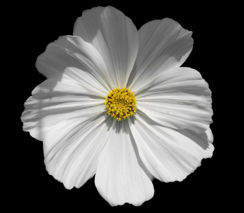 Beautiful white Garden Cosmos flower with yellow center. Close up from above, isolated on black royalty free stock image