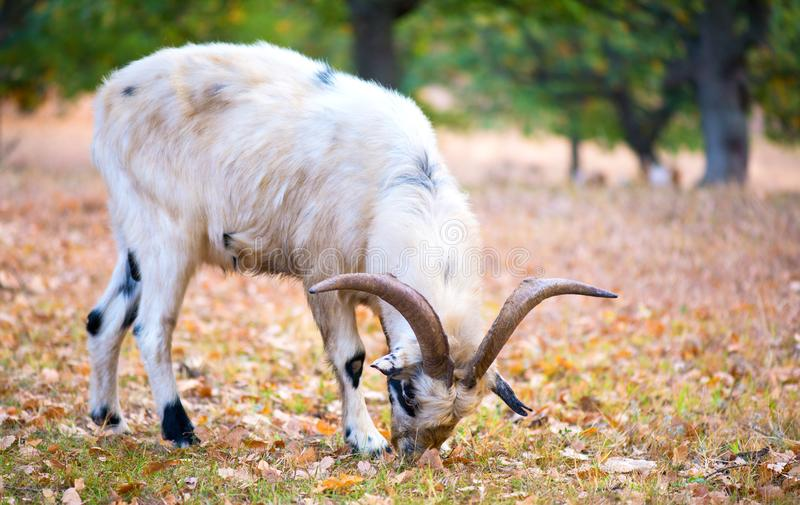 23 191 Beautiful Goat Photos Free Royalty Free Stock Photos From Dreamstime