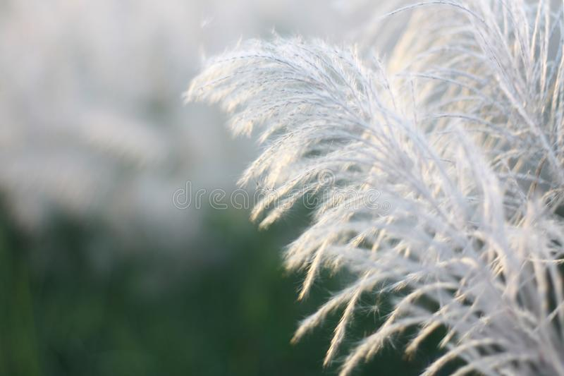 Beautiful white grass in the nature stock image