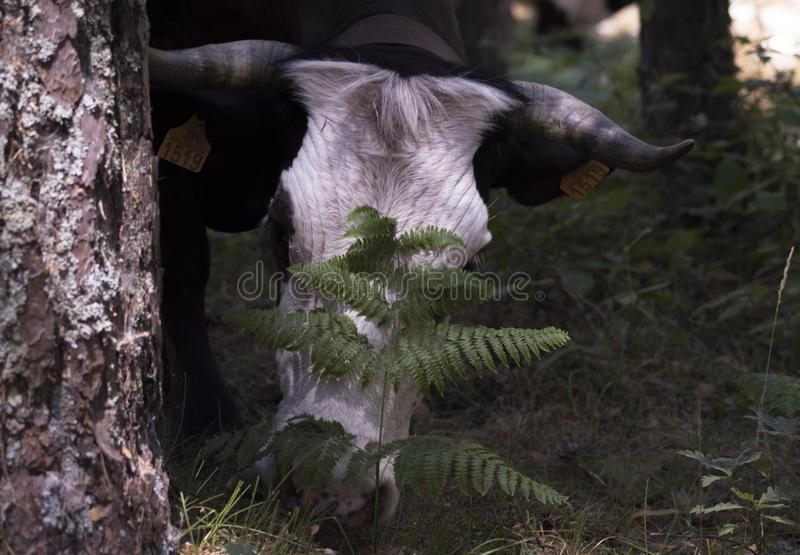 Whtie head cow in the forest royalty free stock photos