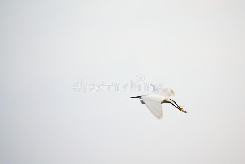 Beautiful white bird flying on dull skies background. Beautiful white heron flying in foggy skies,Varna Black Sea Coast Bulgaria royalty free stock photography