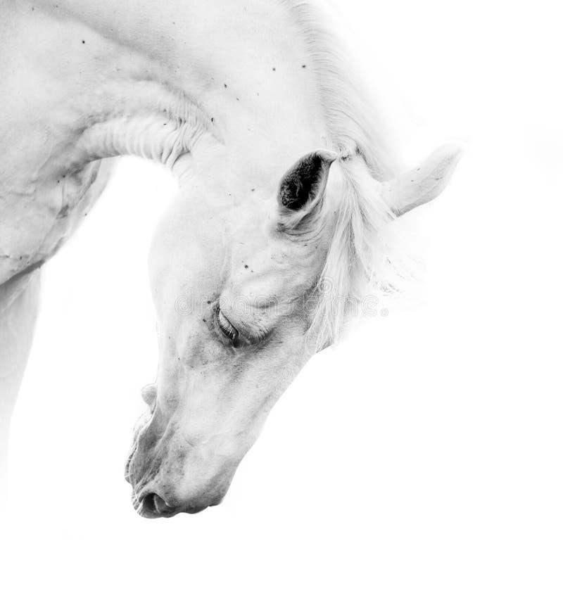 Beautiful white horse royalty free stock photos