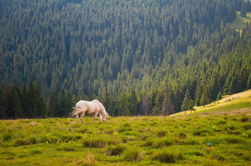 A beautiful white horse grazing in the meadow. Carpathian mountains, Ukraine. royalty free stock photo