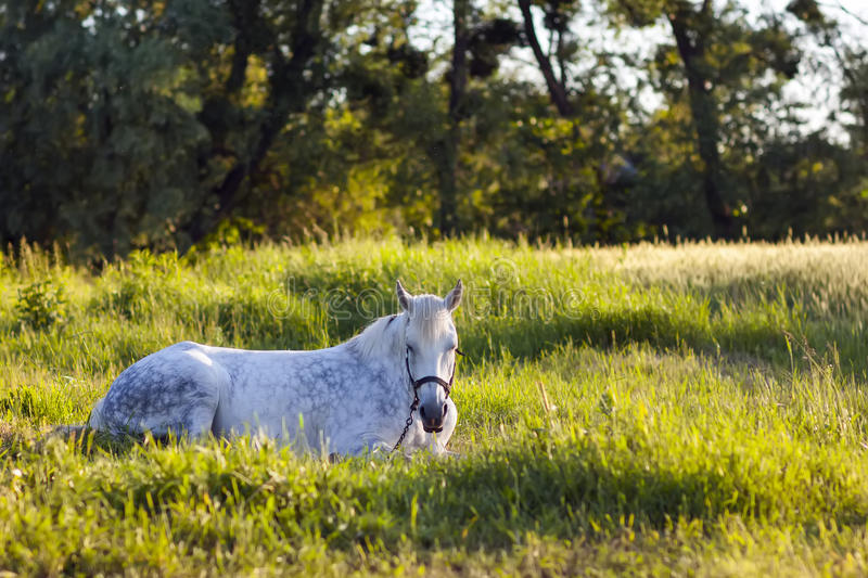 Beautiful white horse lying in green grass stock image