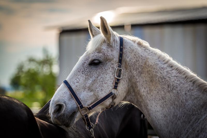 Beautiful white horse portrait with black bridle royalty free stock images