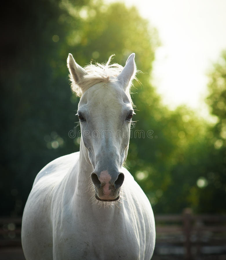 Beautiful white horse portrait. In summer royalty free stock photography