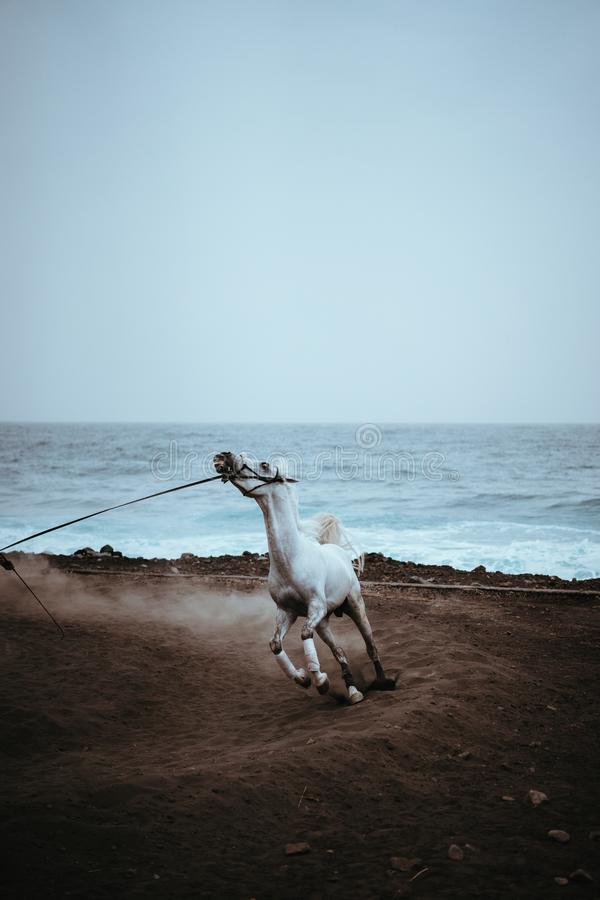 Beautiful white horse run in dust on the black volcanic sand on the Atlantic coastline stock photography