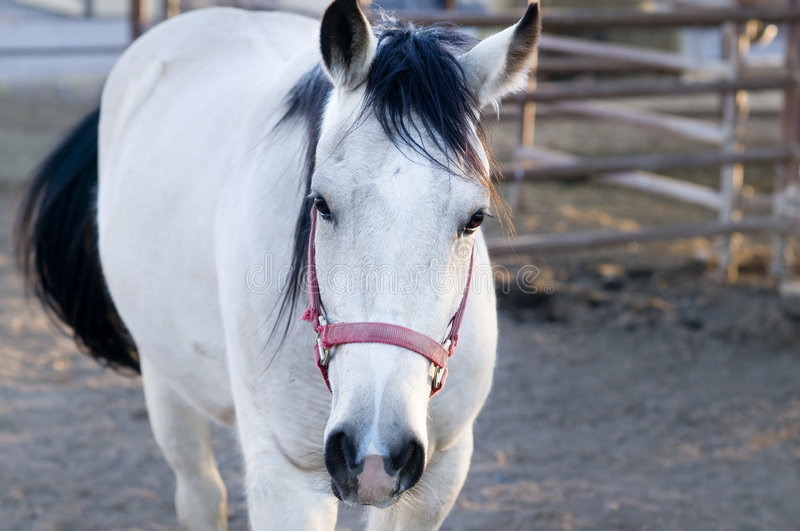 Beautiful white horse in stable stock photos