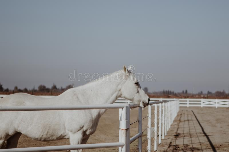 Beautiful white horse standing next to a metal railing at a ranch. A beautiful white horse standing next to a metal railing at a ranch royalty free stock photography