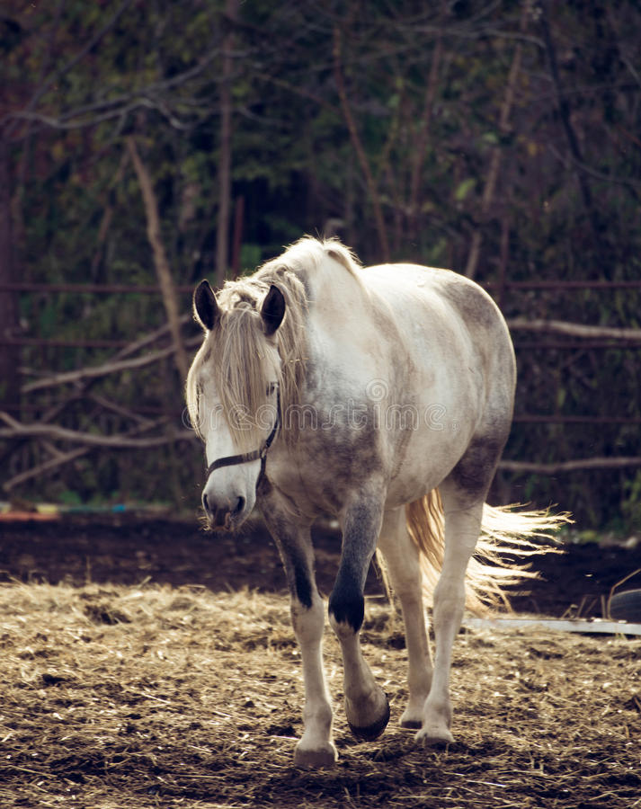 Beautiful white horse in the walking open-air cage, nice sunny day. royalty free stock photography