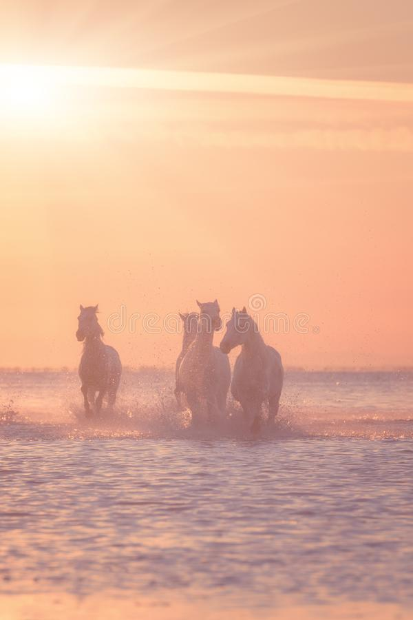 White horses run gallop in the water at sunset, Camargue, Bouches-du-rhone, France stock photography