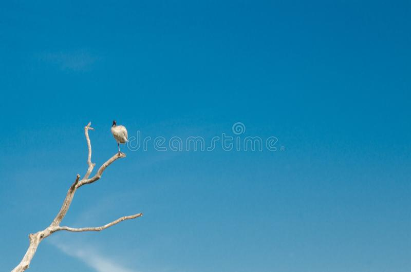 Beautiful white ibis bird perched on a dry leafless twig isolated on blue sky background. royalty free stock photo
