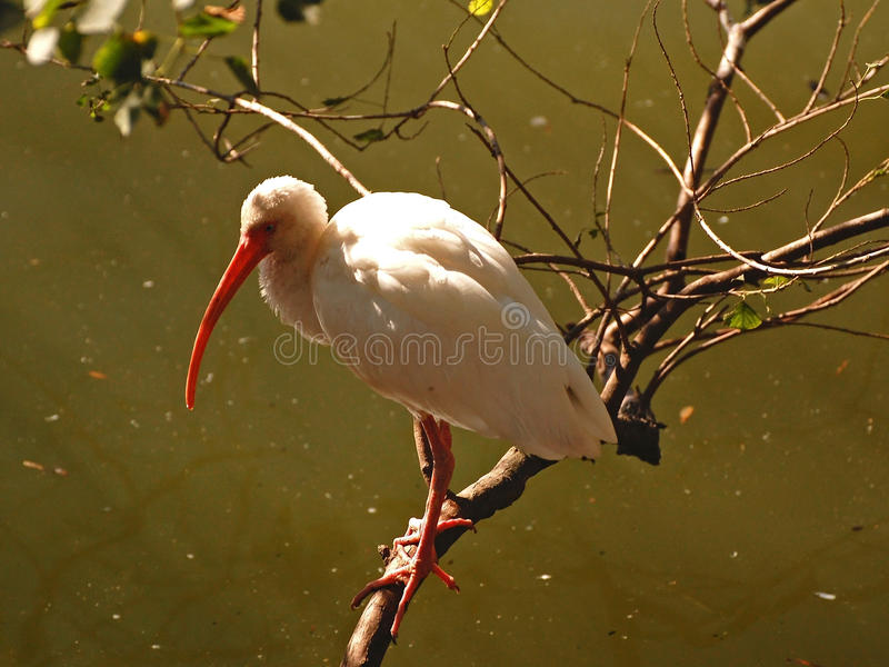 Beautiful white ibis Perched on a branch. A wading bird of the deep South, the striking White Ibis is frequently seen on lawns looking for large insects as stock photography