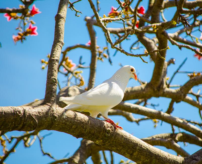 Beautiful white Imperial Pigeon bird stay alone on the tree. A Beautiful white Imperial Pigeon bird stay alone on the tree royalty free stock photography