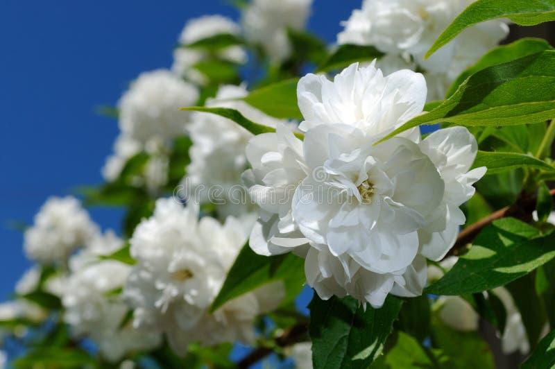 Beautiful White Jasmine Flowers on Blue Sky Background. Beautiful white double flowering jasmine flowers growing on a shrub against a blue sky background stock photos