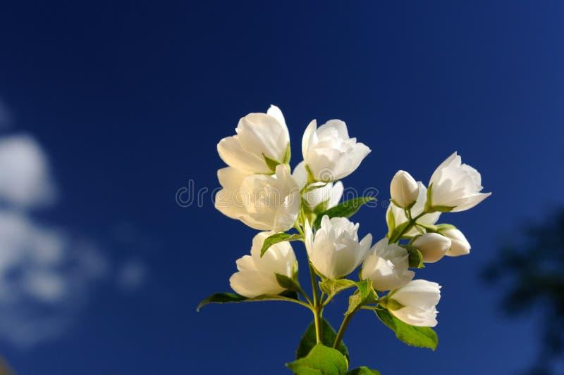 Beautiful White Jasmine Flowers on Bright Blue Sky Background. A branch of beautiful white jasmine flowers against a bright blue sky stock photography