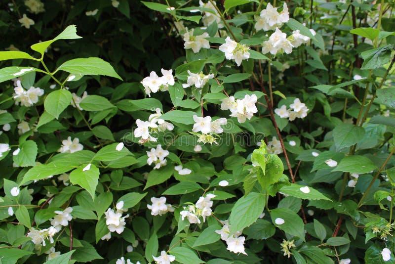 Beautiful white Jasmine flowers in the bush stock photos