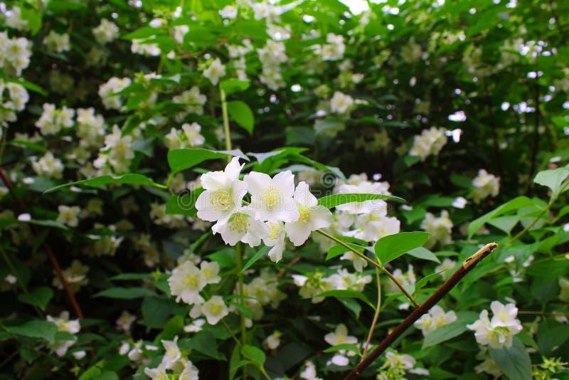Beautiful white Jasmine flowers in the bush royalty free stock photos