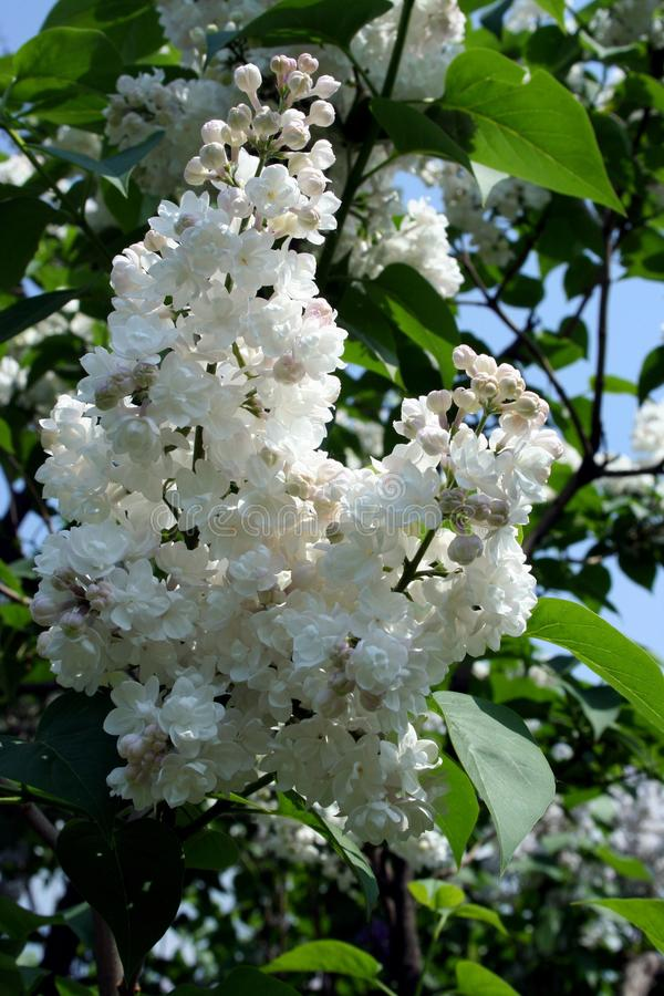 Beautiful white lilac blossomed in June. In one of the Latvian parks royalty free stock photography