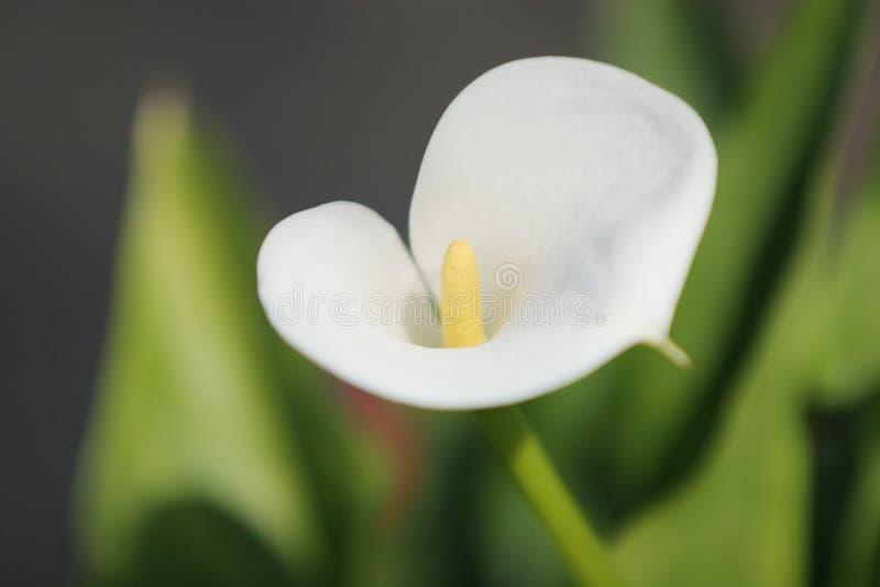Beautiful white lily royalty free stock photo