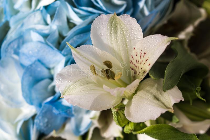 Beautiful white Lily with variegated petals and yellow core with drops of clear water close-up. Beautiful white flower on blue. Petals background stock photo