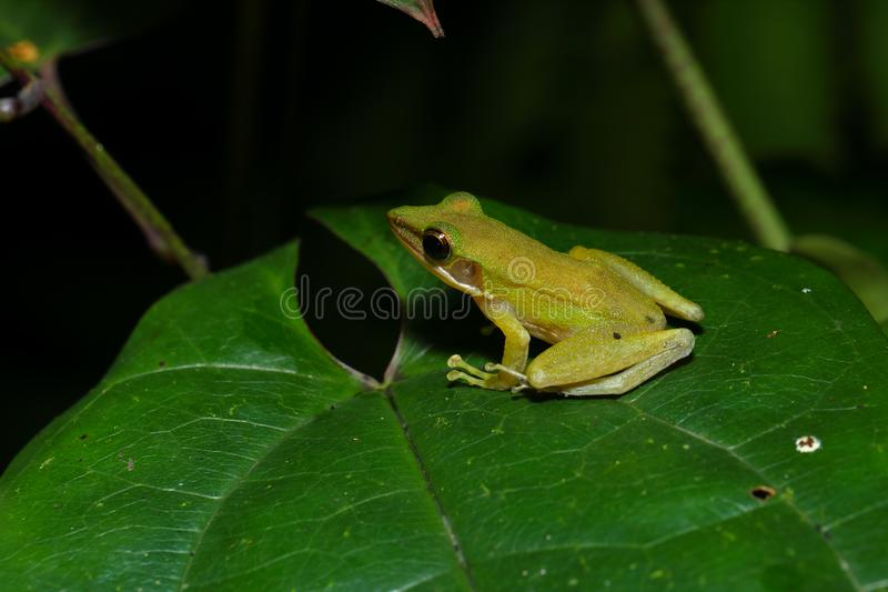 Beautiful White-lipped frog Chalcorana labialis isolated stock image
