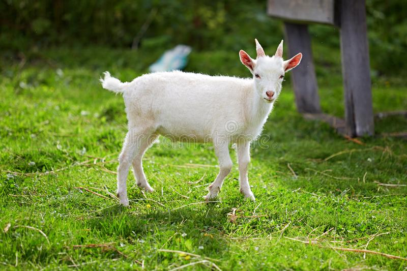 Beautiful white little goat on the grass royalty free stock photos